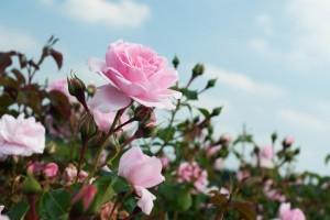 Особая «любовь» тли к розовым кустам, или как бороться с атакой этих насекомых