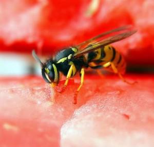 Аллергия на осиный укус