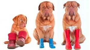 Обувь для собак: нужна ли и как выбрать?